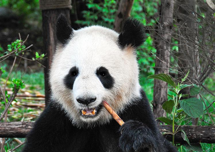 Single Panda 4 web
