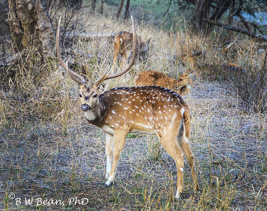 R park deer